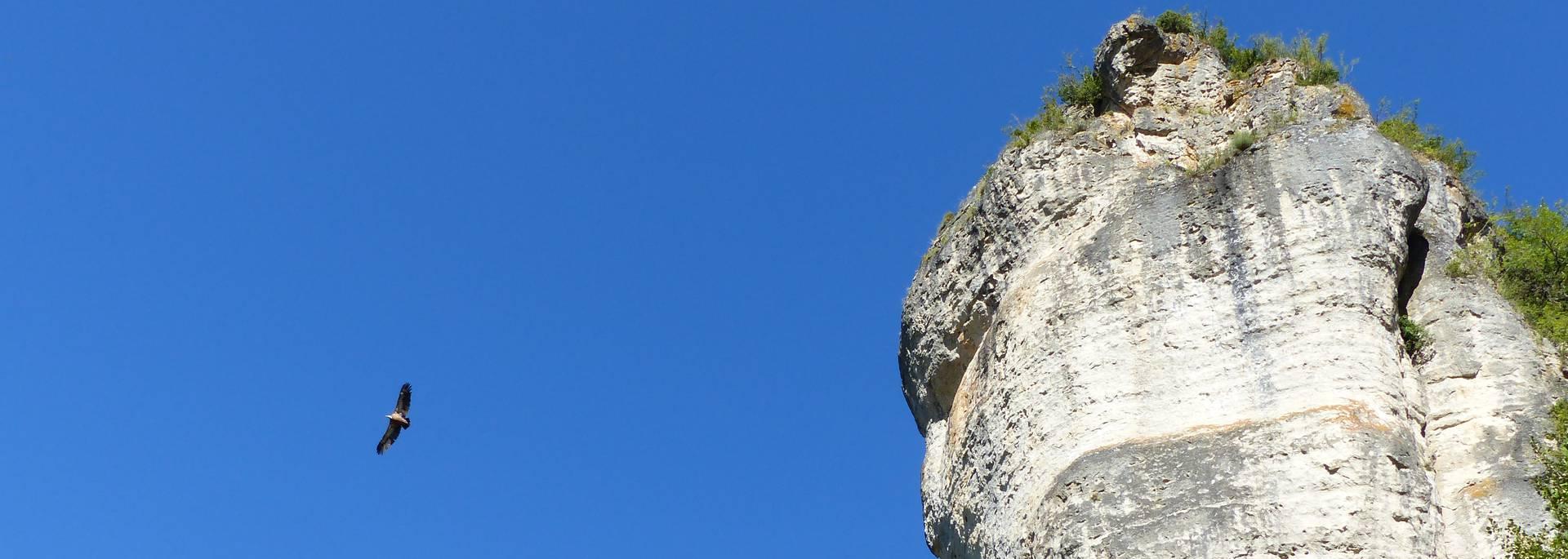Vautour fauve au-dessus des corniches des gorges du Tarn